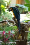 Duke (Blue and Gold Macaw)