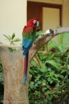 Rico (Green Winged Macaw)