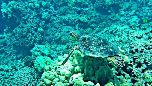 Snorkeling with Honu Hawaiian Sea Turtle Maui