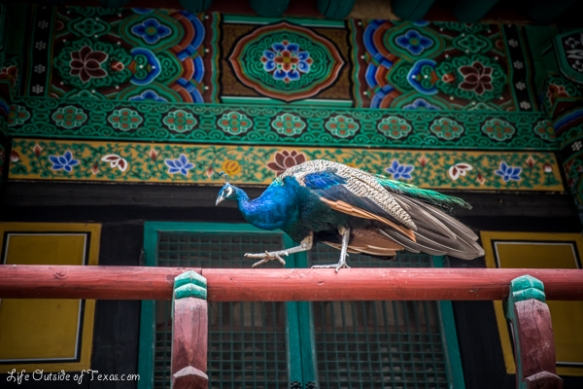peacock temple korea