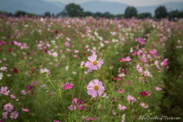 Summer Flowers in Gyeongju, South Korea