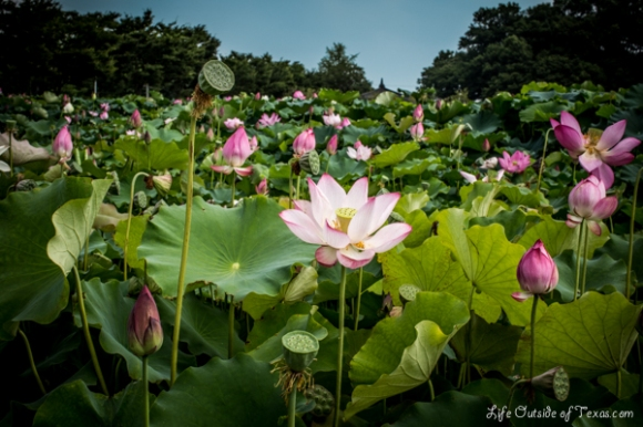 Lotus Ponds in Gyeongju, Korea