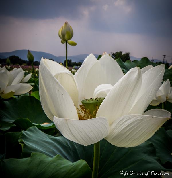 Lotus Ponds in Gyeongju, Korea